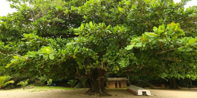 Amendoeira do Engenho, em Paraty